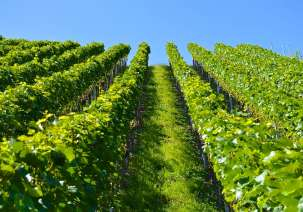 Tuscany: Mozart playing in the vineyards makes wine better